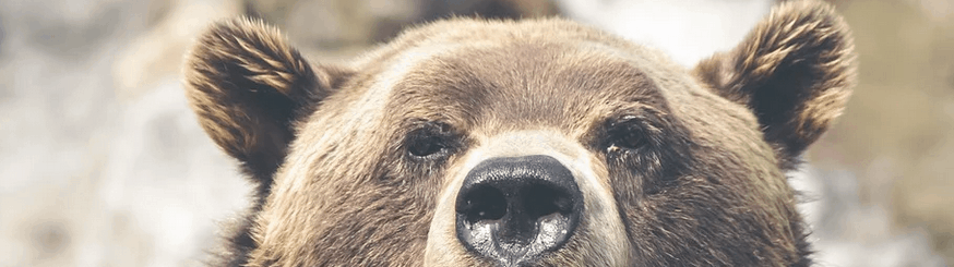 A bear sniffing for food.